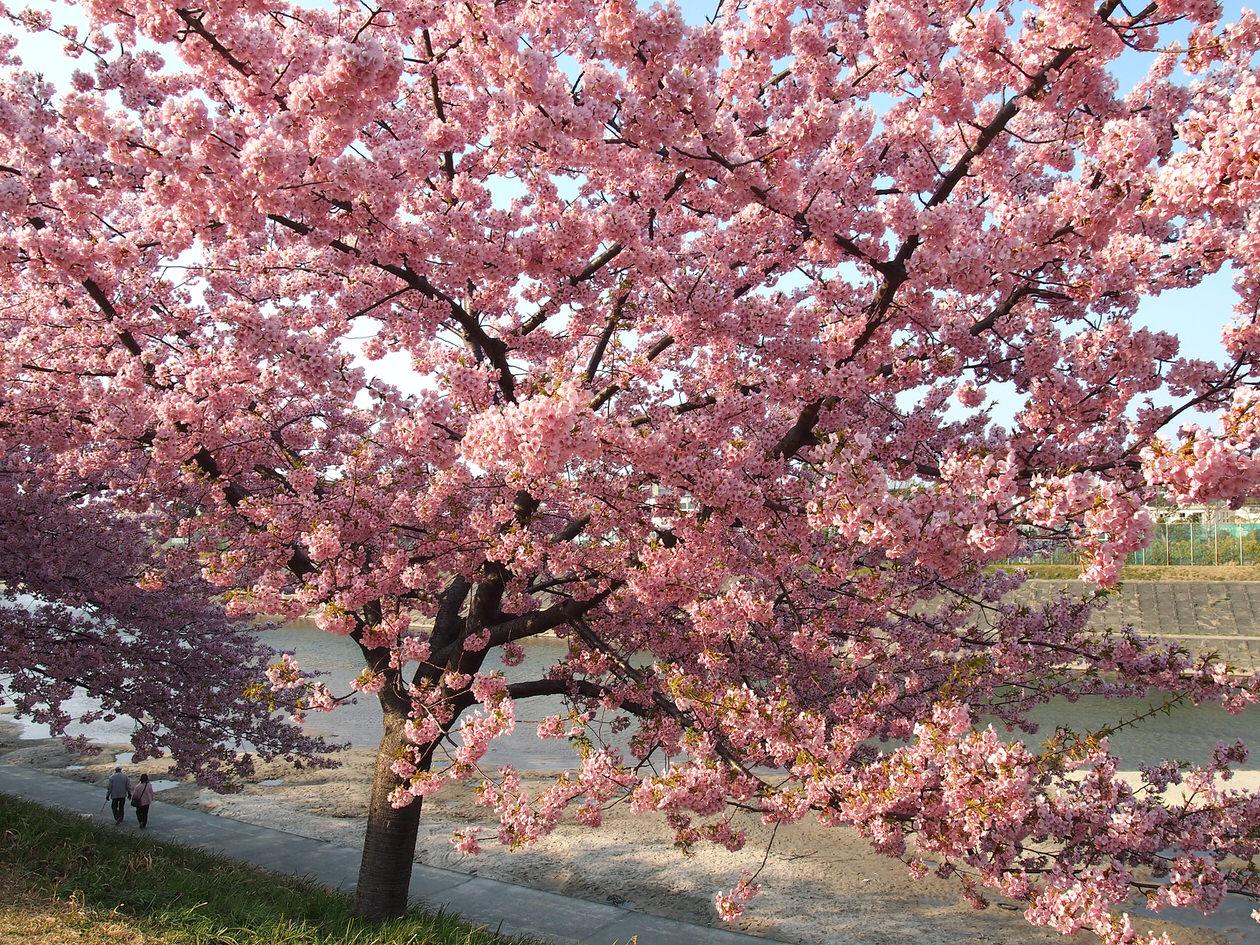 河津桜は背丈が低い