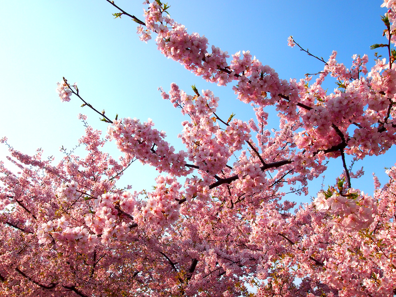 岡崎市・乙川の河津桜