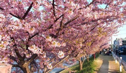 河津桜(カワヅザクラ)ってどんな桜?岡崎の乙川で河津桜を撮る。