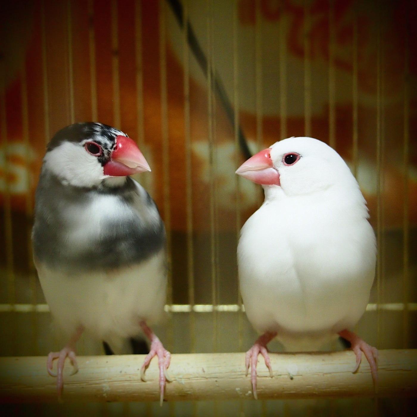桜文鳥のはるおと白文鳥しろちゃんの紹介